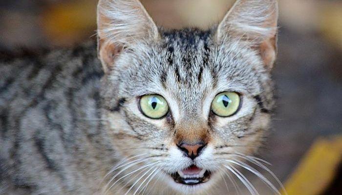 obstrucción de uretra en gatos