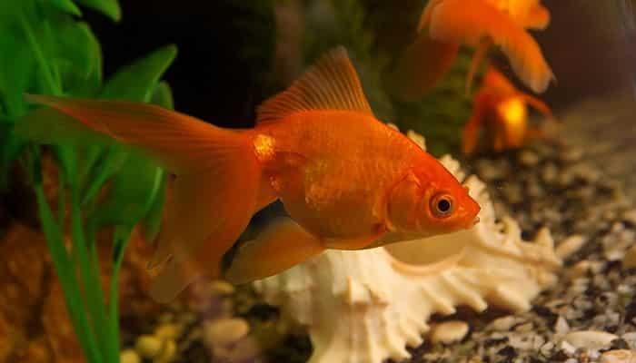 peces goldfish historia tipos y cuidados la elecci n
