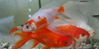 peces goldfish