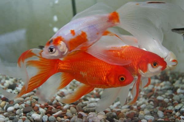 Peces goldfish historia tipos y cuidados la elecci n for Enfermedades de peces goldfish