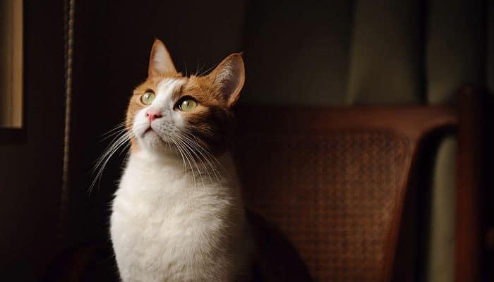 observa bien a tu gato para determinar si tiene sobrepeso