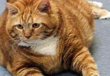 peso ideal en gatos