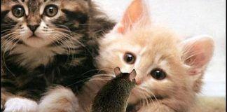 síntomas de la toxoplasmosis en gatos