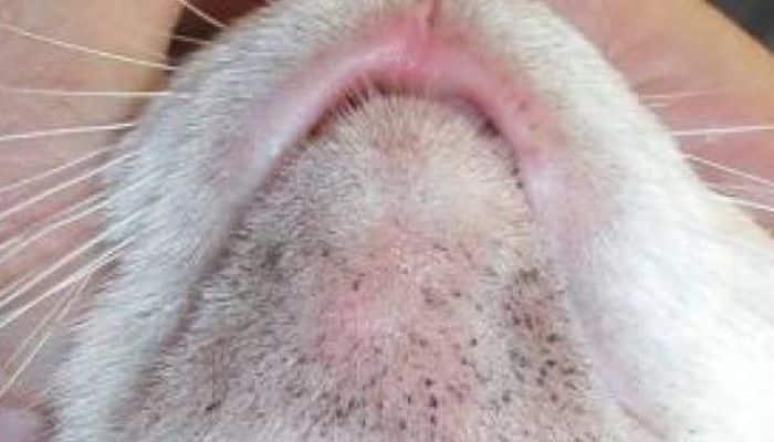acné en gatos