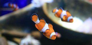 estrés en los peces