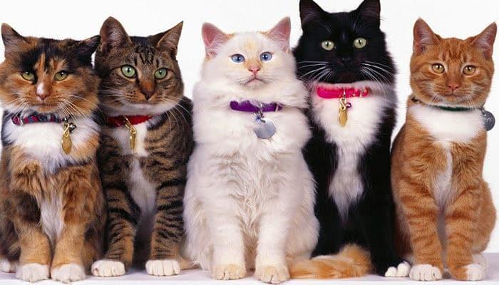 que otras razas de gatos existen
