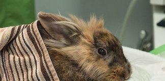 diarrea en conejos