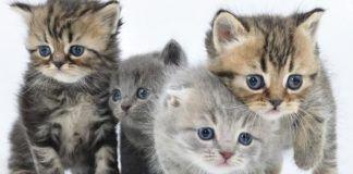 alergia a las pulgas en gatos