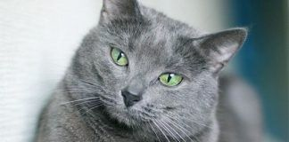 artrosis en gatos