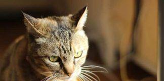 causa de estornudos en gatos