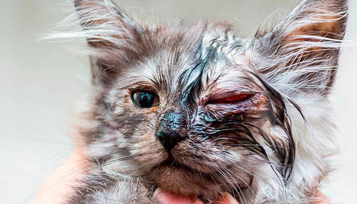 clamidiasis en gatos