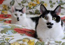 diabetes en gatos tratamiento