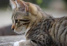 edema pulmonar en gatos