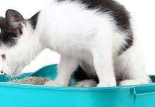 hemorroides en gatos