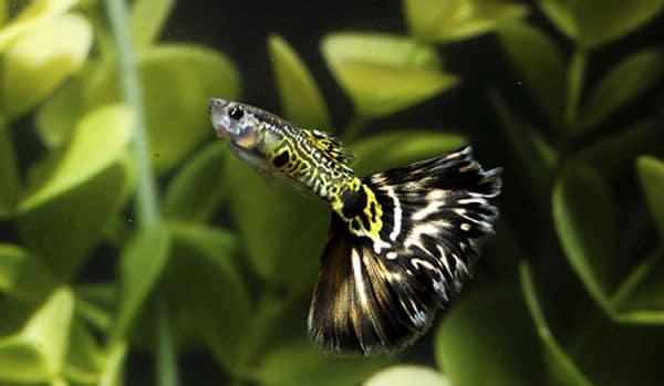 Peces guppy una adicci n fabulosa para tu acuario for Tanques para peces