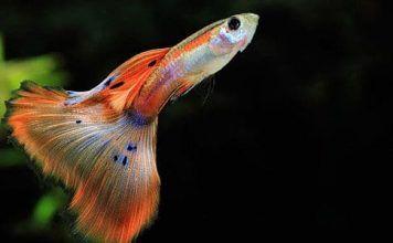 peces Guppy