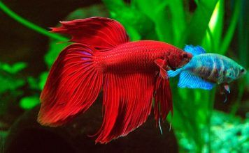 peces que pueden vivir con un betta