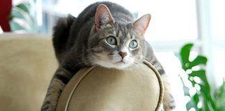 plaquetas bajas en gatos