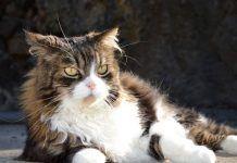 problemas de piel en gatos