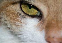 tratamientos naturales para cistitis en gatos