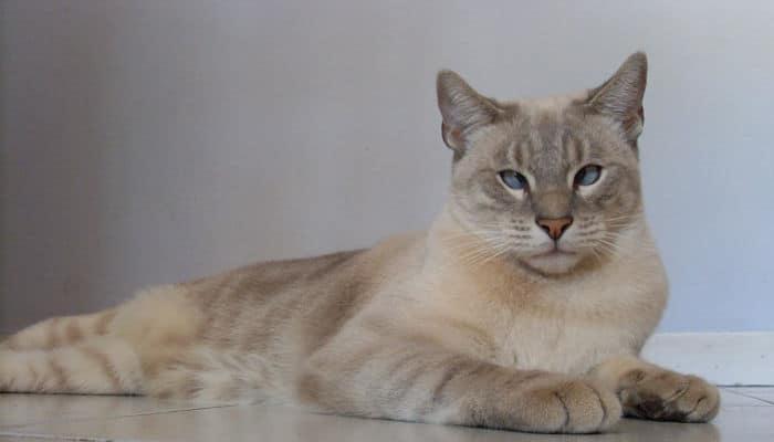 trombocitopenia en gatos