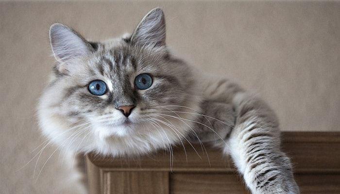carcinoma de células escamosas en gatos