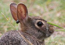 garrapatas en conejos