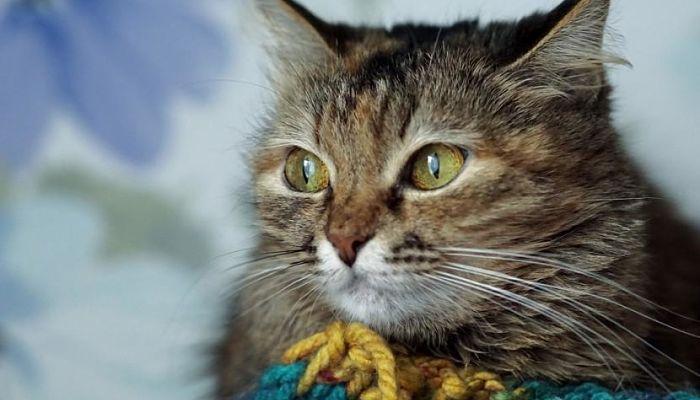 haemobartonella en gatos