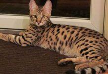 linfoma en gatos