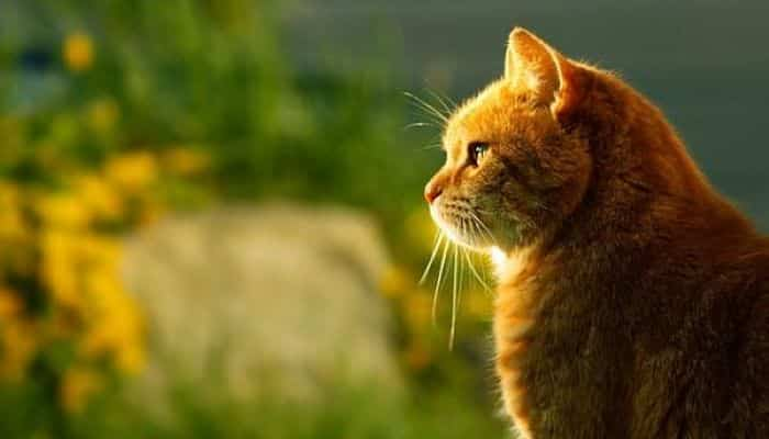 neumonia en gatos