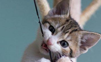 paracetamol en gatos