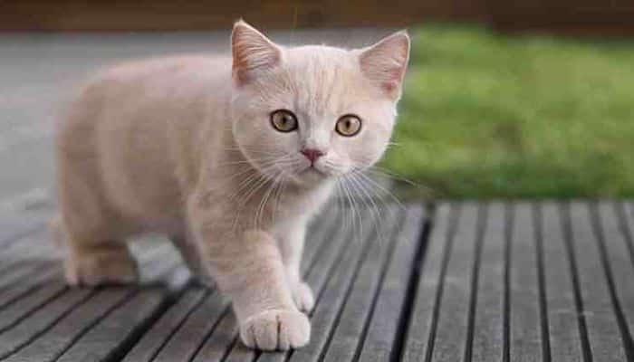 peritonitis infecciosa felina, una enfermedad mortal