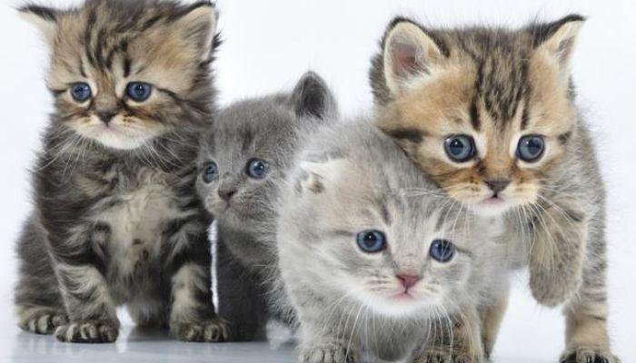 pulgas en gatos bebés