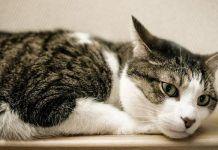 síntomas de leucemia en gatos