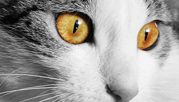 tercer párpado en gatos