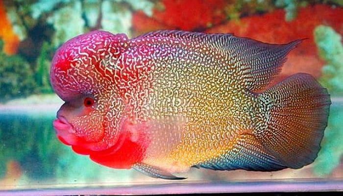 Peces de agua dulce 12 especies coloridas para tener en for Clases de peces de acuario