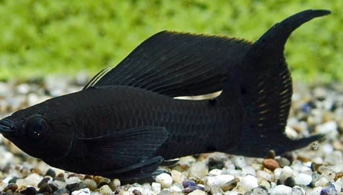 Peces de agua dulce 12 especies coloridas para tener en for Tanques para peces