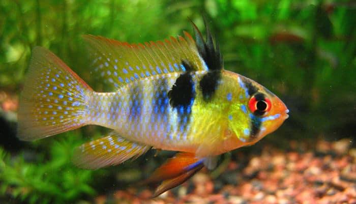 peces de agua dulce 12 especies coloridas para tener en