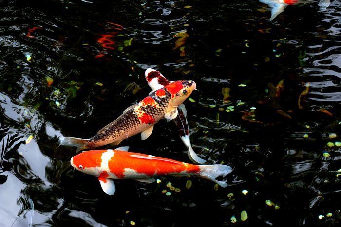 Cuidado de los peces Koi