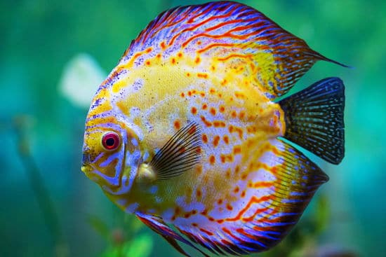 Tamaño del pez Disco