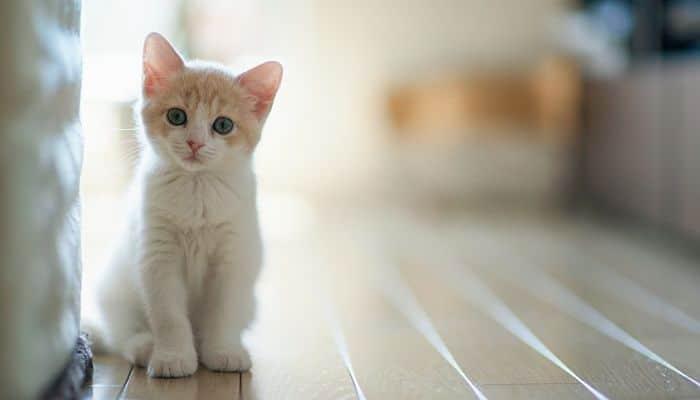 taurina en gatos