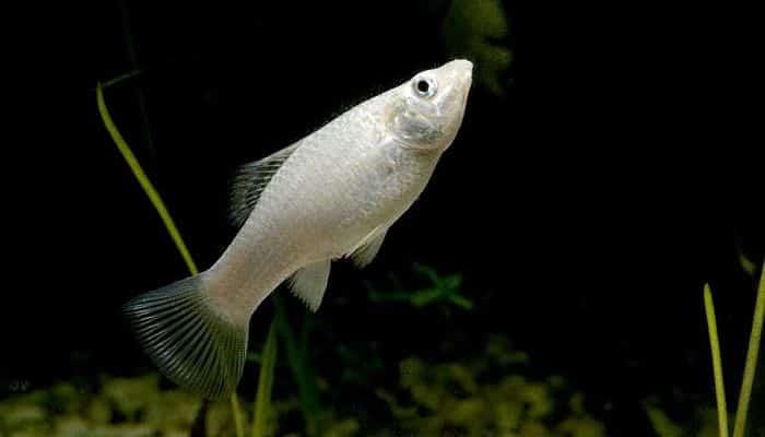 alimentación peces molly