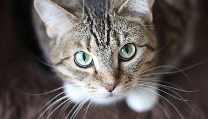 tratamiento para la conjuntivitis en gatos