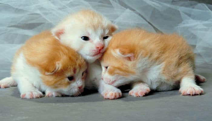 causas de la bronquitis en gatos