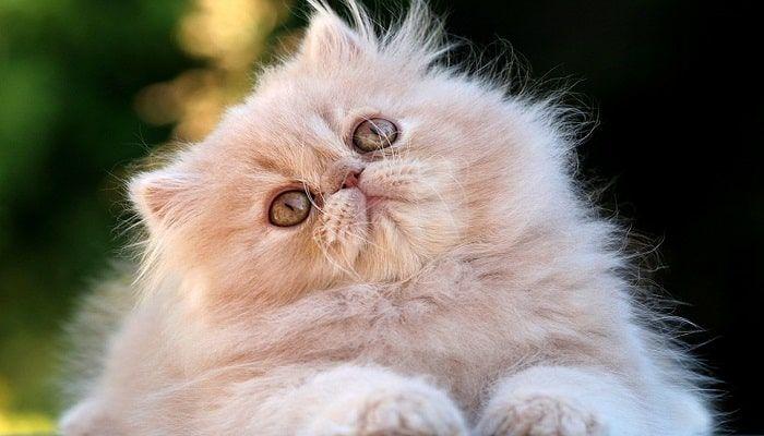 ojos rojos en gatos