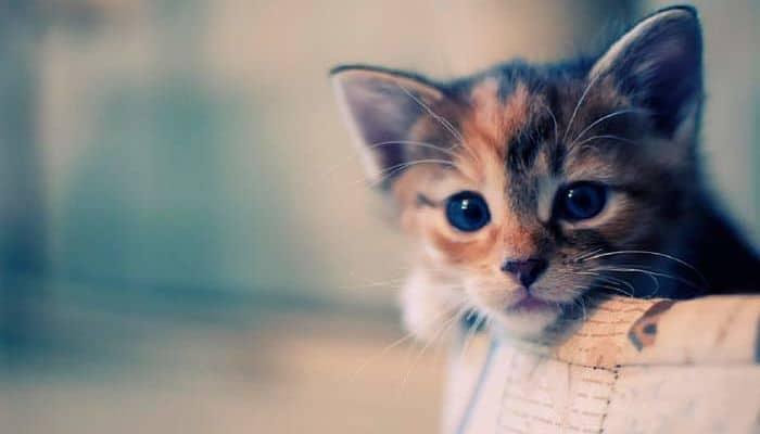 tratamientos para la queratitis en gatos