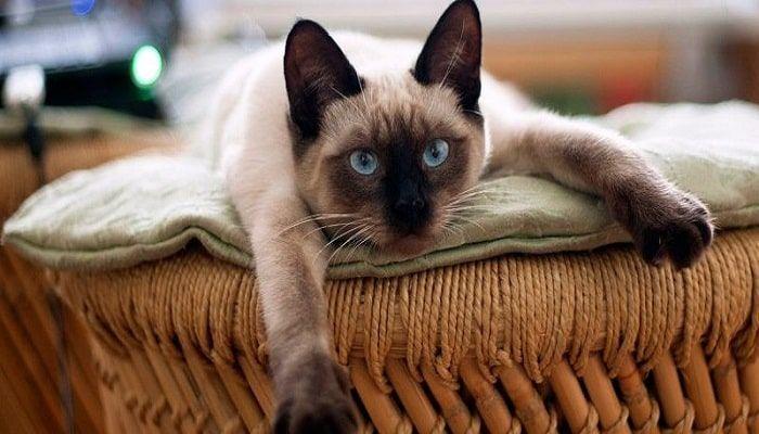 hernia diafragmática en gatos