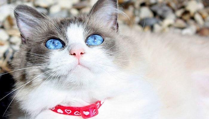 problemas oculares en gatos