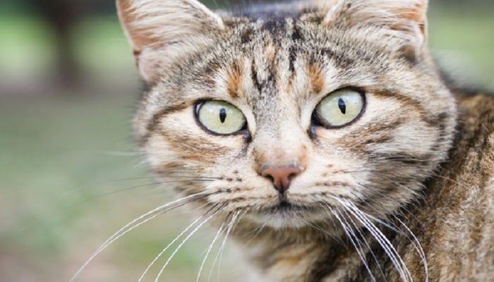 cómo identificar la fiebre en gatos