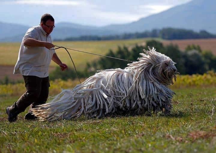 komondor raza de perro grande